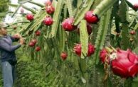 Go Indonesia :: Kebon Nogo, The Centre Of Indonesian Dragon Fruit