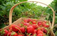 Go Indonesia :: Sweet Berry, The Largest Strawberry Garden In West Java