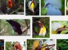 Goindonet.com Invites You to Papua Bird Watching